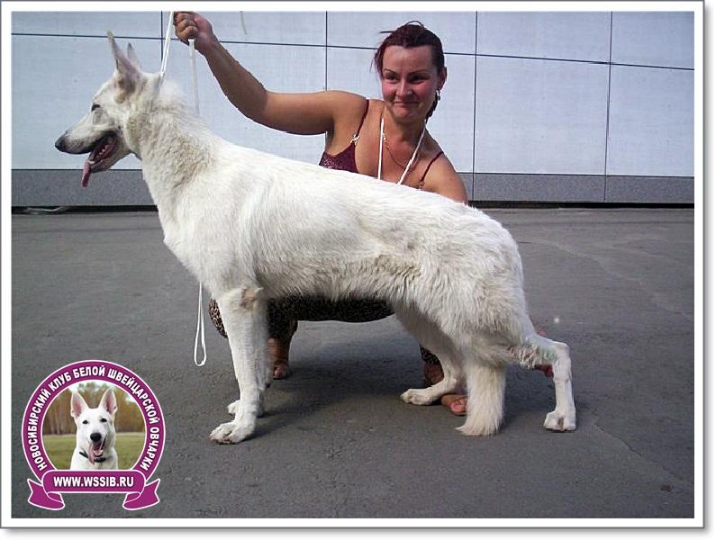Белая швейцарская овчарка Новосибирск
