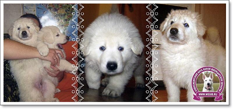 Щенки Белой швейцарской овчарки Новосибирск